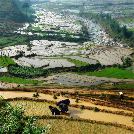 Vietnam, planting the rice- I have wanted to this ever since I seen this in a traveling video when I was little!!