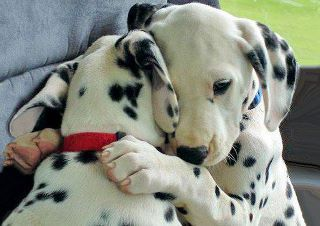 Awww, we're thinking about getting a dalmation