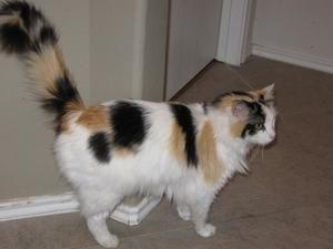 Bunny CP is an adoptable Calico Cat in The Woodlands, TX. Meet Bunny. She is a 2-3 year old long haired calico cat—not a rabbit. She got her name because of how she walks. She is missing a back leg so...