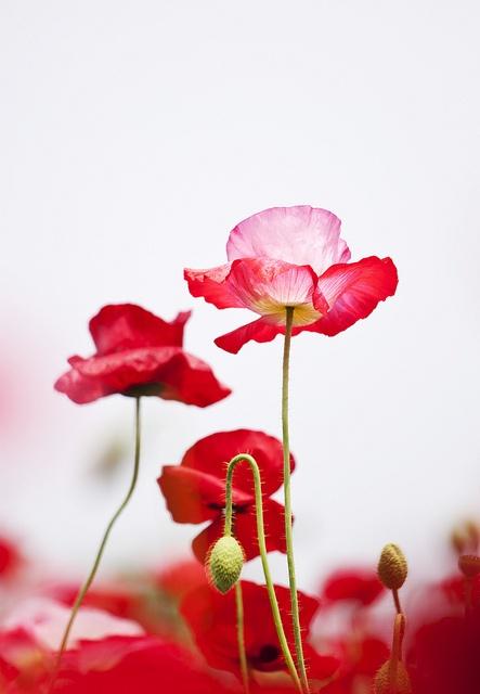 poppy beauty