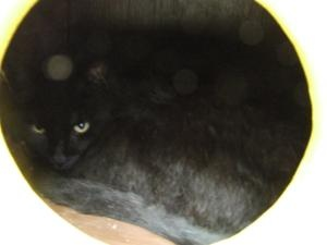 Henson is an adoptable Domestic Short Hair Cat in Columbia, SC. Animals are adopted on a first come basis and cannot be held back from a potential home, so please come to the shelter to see them. All ...