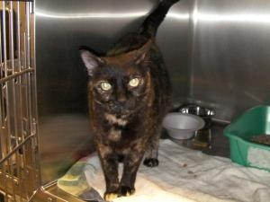 Joy is an adoptable Tortoiseshell Cat in Woodbridge, NJ.  ...