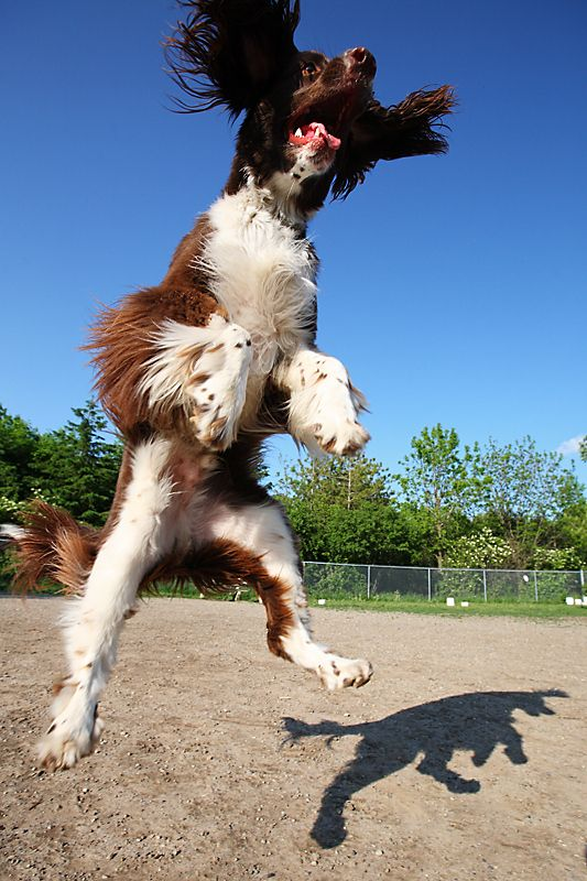 """. . .and you wondered why they are called """"Springers"""" !! :)"""