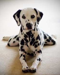 Perfectly wonderful portrait of a Dalmatian called Gracie.