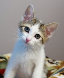Meet Piper, an adoptable, adorable kitten at A.D.O.P.T. Pet Shelter in Naperville, IL.  Come check out Piper and his pals online at www.adoptpetshelt...