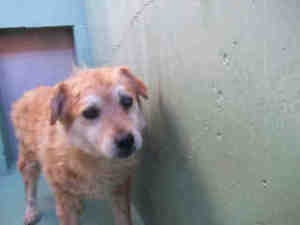 A900630 KERN URGENT is an adoptable Golden Retriever Dog in Bakersfield, CA. WILL YOU SAVE ME? I am at the Kern County Animal Control. To obtain further information, have the PET ID# and call the shel...