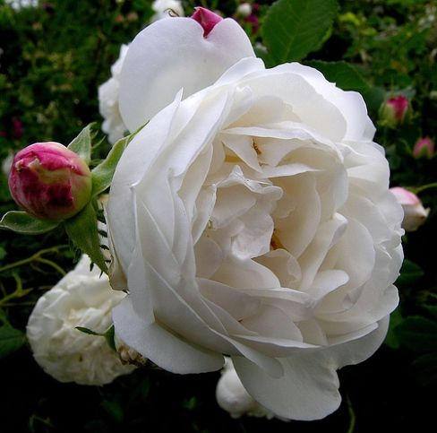 'Mme Legras de St Germain', a very fragrant Alba rose. The scent is of the Old Rose perfume that is so lovely. An outstanding, almost thornless rose, that is easy to grow. Zones 4-10, height up to 8 feet