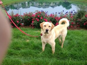 Brody is an adoptable Retriever Dog in Boston, MA. Brody was rescued from a high kill shelter in TN. However, the his?new owners?were not screened well because Brody ended up on a very short chain in ...