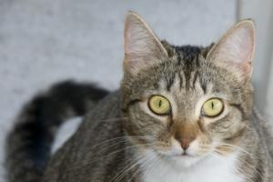 Isis is an adoptable Tabby - Black Cat in Palmyra, VA.  Named after an ancient goddess, you just may think me divine. Once you experience my luminous yellow eyes, gorgeous tabby stripes, pert orange n...