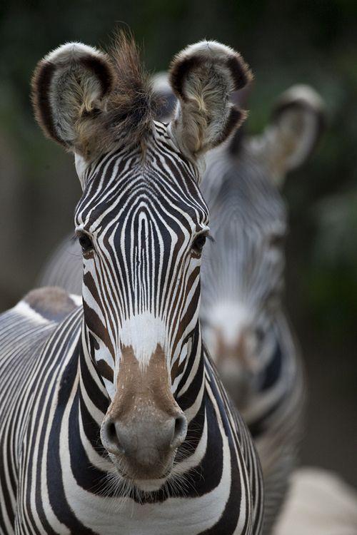 Zebra (by Official San Diego Zoo)