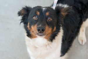 Oddie is an adoptable Spaniel Dog in Ukiah, CA. Oddie is a super duper cute guy who was found walking along the Eel River with his pal Lady. He is a bit shy here at the shelter though still friendly a...