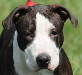 #172 J.J. is an adoptable Bull Terrier Dog in New Haven, CT. Three-month-old J.J. is going to be a bruiser. He was found as a stray. This little big guy needs a lot of training, a lot of socialization...