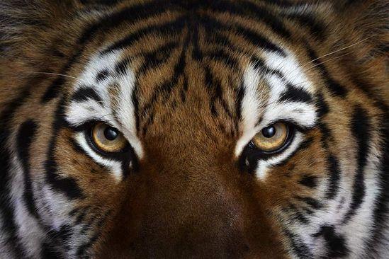 Incredible Studio Portraits of Wild Animals by Brad Wilson - Tiger