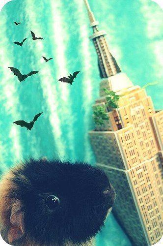 guinea pig flight
