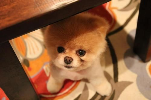 #Pomeranian #cuteness #pets