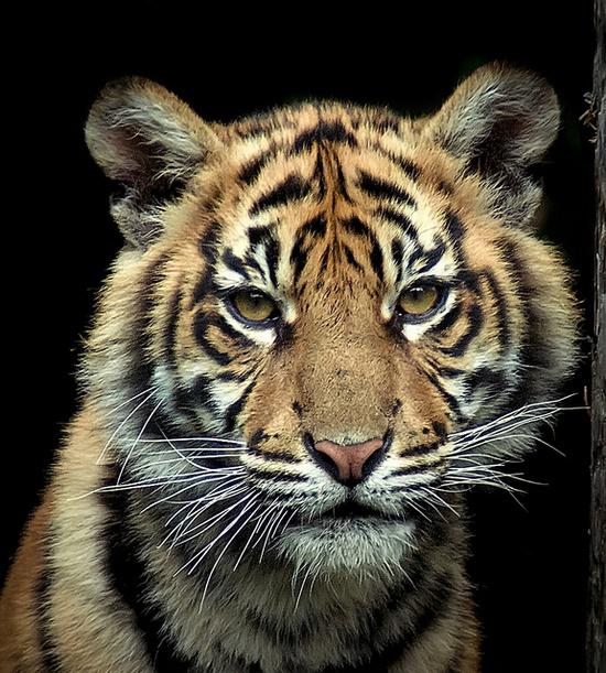~~young Sumatran Tiger by Steve Wilson~~