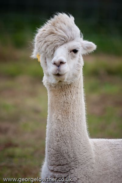 alpaca with fabulous hair - hipster