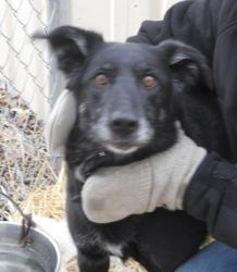 Madj is an adoptable Labrador Retriever Dog in Saginaw, MI. Madj is an adult lab mix who came to the shelter on 3-22-13 after her owner had passed away. Madj is 8 years old, spayed & has a current rab...