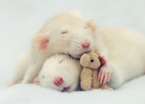 even rats can be cute