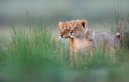 lion cub friends