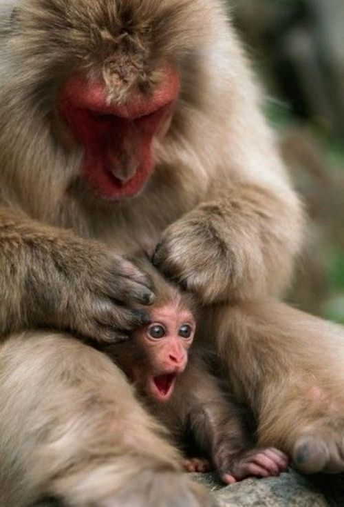 Mom's Massage Really Comfortable via:cutestuff  #animals #monkey #lol #cute #nature #baby