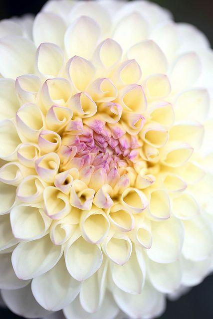 """Dahlia """"Snow Garden"""""""