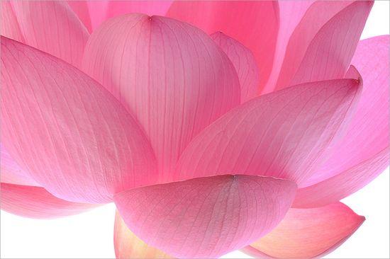 Lotus Flower / Pink Petal Macro