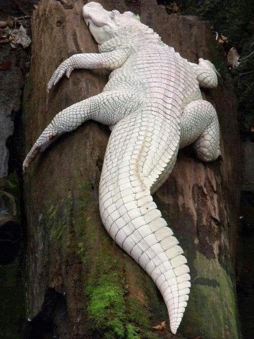 #Animals #Photography Albino Croc
