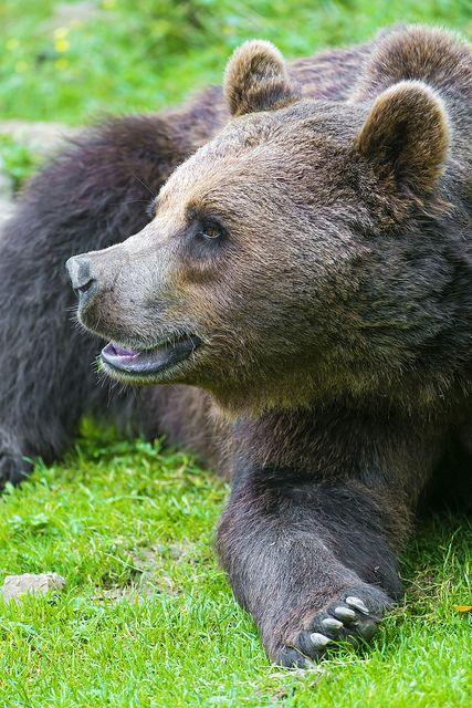 Comfy brown bear