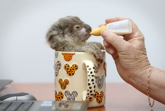 koala in a coffee mug