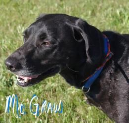 """WONDERFUL BLACK LAB WAITING FOR A HAPPY HOME!!! """"MCGRAW"""">>>>Youngstown, OHIO>>>501// MCGRAW // 6 is an adoptable Black Labrador Retriever Dog in Youngstown, OH. CONTACT: mailto:stoohey@ma... ? Available:6/24 ? All dogs are spayed/neutered before you bring them home. $80 ..."""