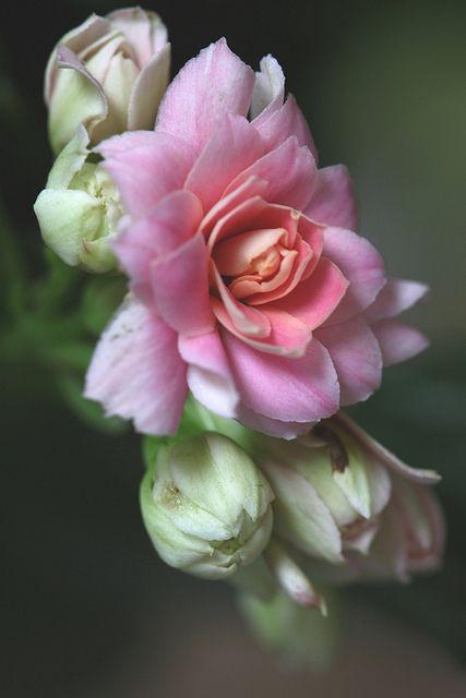 Double Kalanchoe Flower