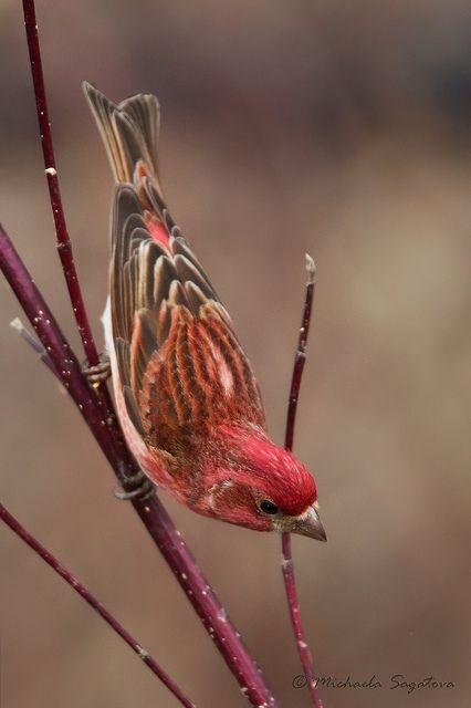 Purple Finch (male) by ~ Michaela Sagatova