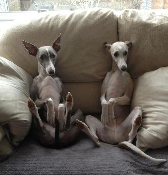 My kinda puppies. So adorable I can't stand it #whippets