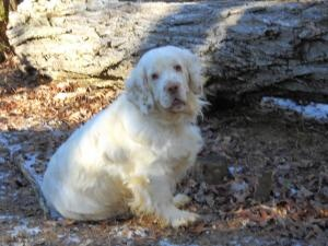 Shelby Sue is an adoptable Clumber Spaniel Dog in Fairview, NC. Hello my name is Shelby Sue and I am 4 years old. To say that I am sweet is an understatement. I am not only sweet but very friendly and...