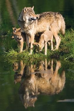 Wolves are one of my favorite animals and so stunning