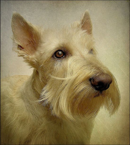Gorgeous Wheaten Scottish Terrier