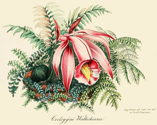 Coelogyne wallichiana pleione praecox, 1856. #Victorian #vintage #botanical #illustrations