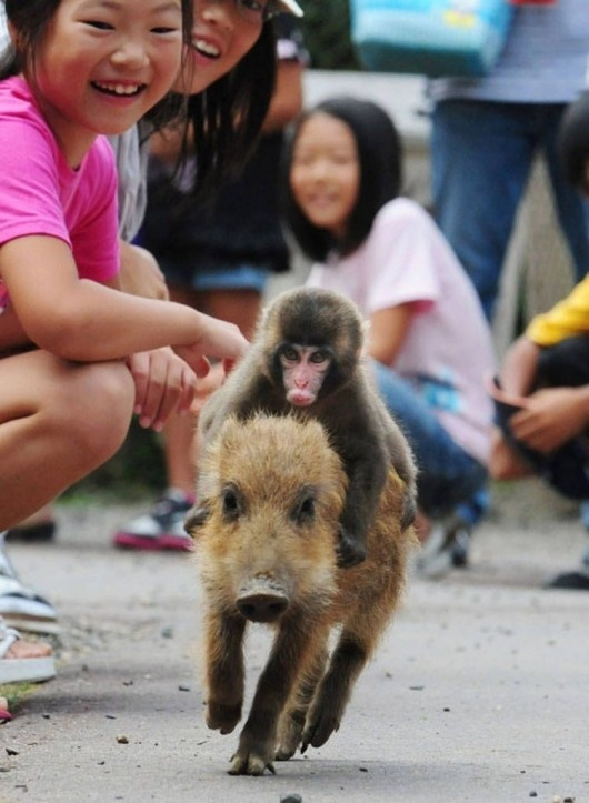 """Baby monkey, ridin backwards on a pig, baby monkey."" Best video ever lol"