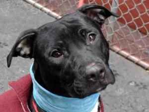 SORAYA is an adoptable Pit Bull Terrier Dog in New York, NY. A volunteer writes: This is one gentle girl, the dream dog I needed to meet and care for toward the end of my day at the care center. I was...THAT FACE....WANTS TO LIVE....HELP