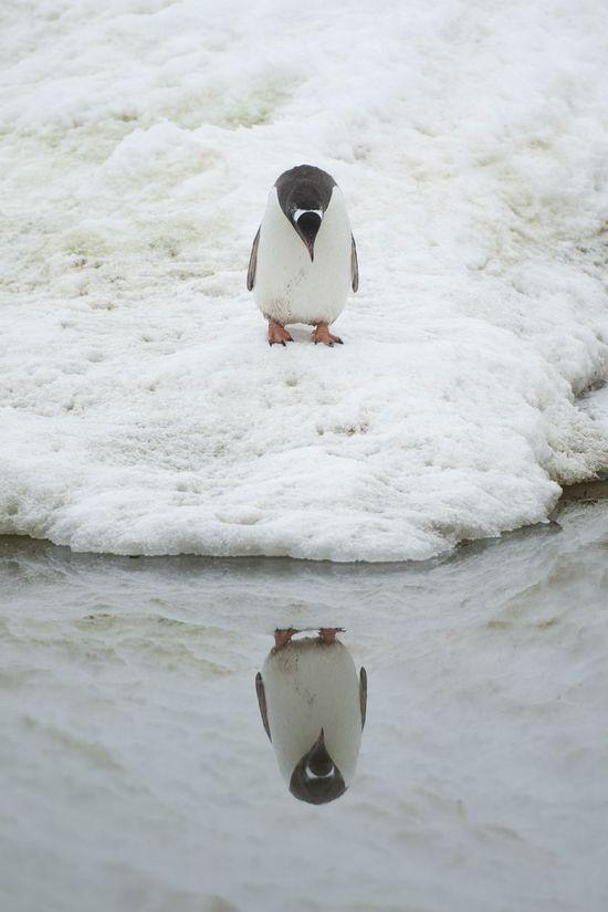 A penguin admires his reflection in Neko Harbour, Antarctic Peninsula. August 18th - Anthony Pierce/Barcroft Media. ?