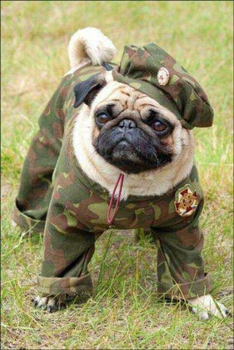 Pug Scouts