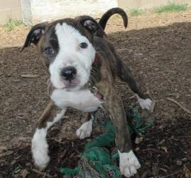 06/15/13 Petra is an adoptable Pit Bull Terrier Dog in Grass Valley, CA. Little Petra is the last of Nala's pups, that needs a forever home. As you can see she is cute as can be, loving and fun, fun, fun. She ...
