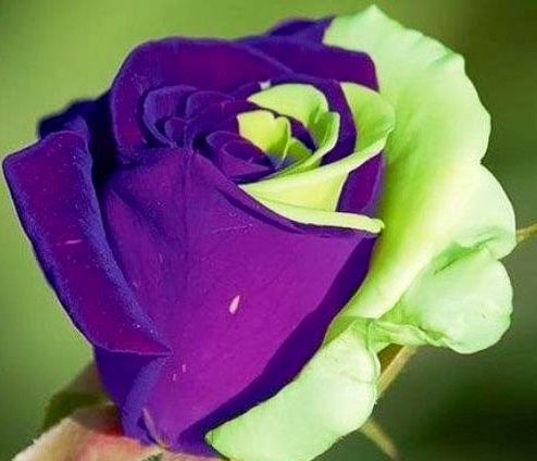 Two color rose