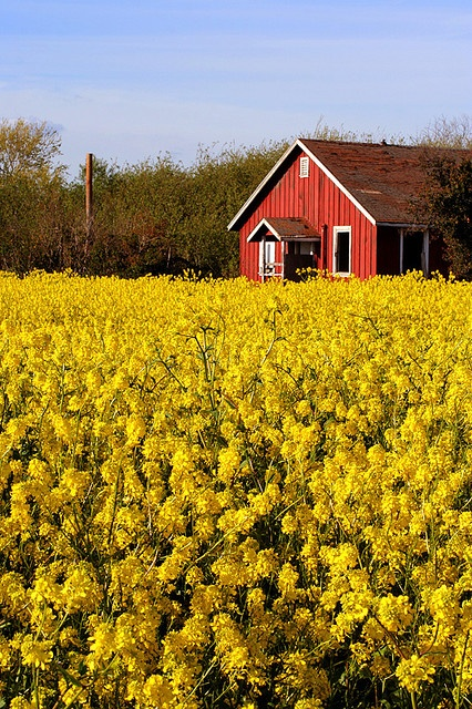 Red in a yellow field,East bay,California