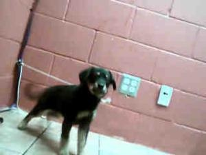 A4557432 URGENT DOWNEY SHELTER is an #adoptable Rottweiler #Puppy Dog in #Downey, #CALIFORNIA. **WE NEED VOLUNTEERS TO POST & REMOVE PETS ON PETFINDER. IF YOU CAN COMMIT TO THE CAUSE OF HELPING SAVE SHELTER ANIMALS, PL...