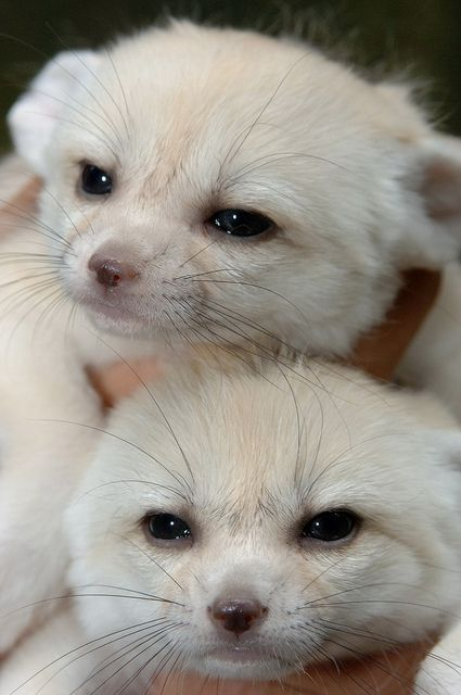 Fennec fox twins