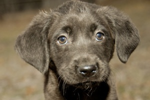 Adoptable puppy Dill. Click through for more info!