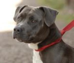 Samantha is an adoptable Staffordshire Bull Terrier Dog in Evans, CO. All adoptions include: Spay/neuter If the animal is not yet spayed or neutered: Every animal will be spayed or neutered prior to g...