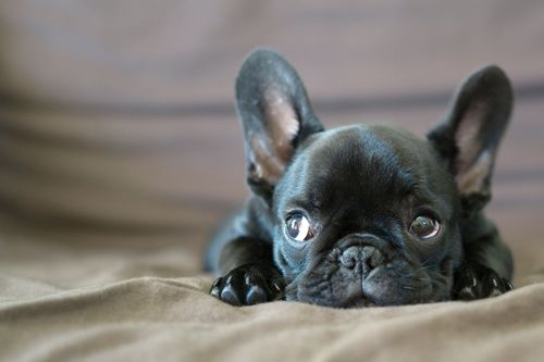 black French Bulldog pup, I need him!!